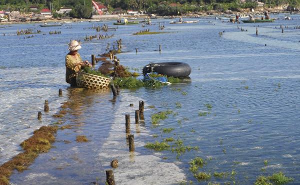 Cultivo de Kappaphycus Alvarezii en la isla de Lemboanga en Indonesia (Foto de la autora)