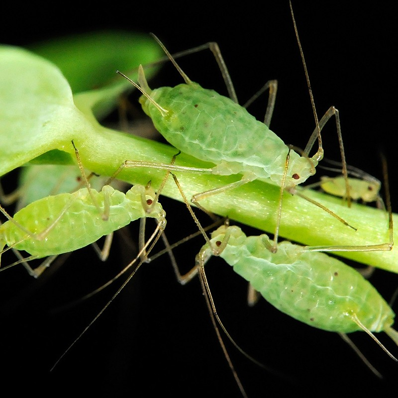 fotosintesis_en_un_insecto
