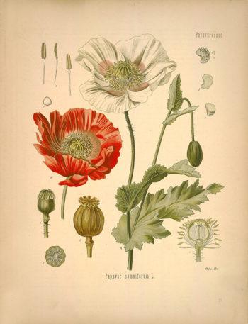 Fotografía 1.- Ilustración del Köhler´s Medizinal-Pflanzen (KÖHLER, 1887: lám. 37) en la que aparecen representados flores (A, B) y frutos (4, 5, 6) de adormidera. Fuente: http://www.botanicus.org/page/303636.