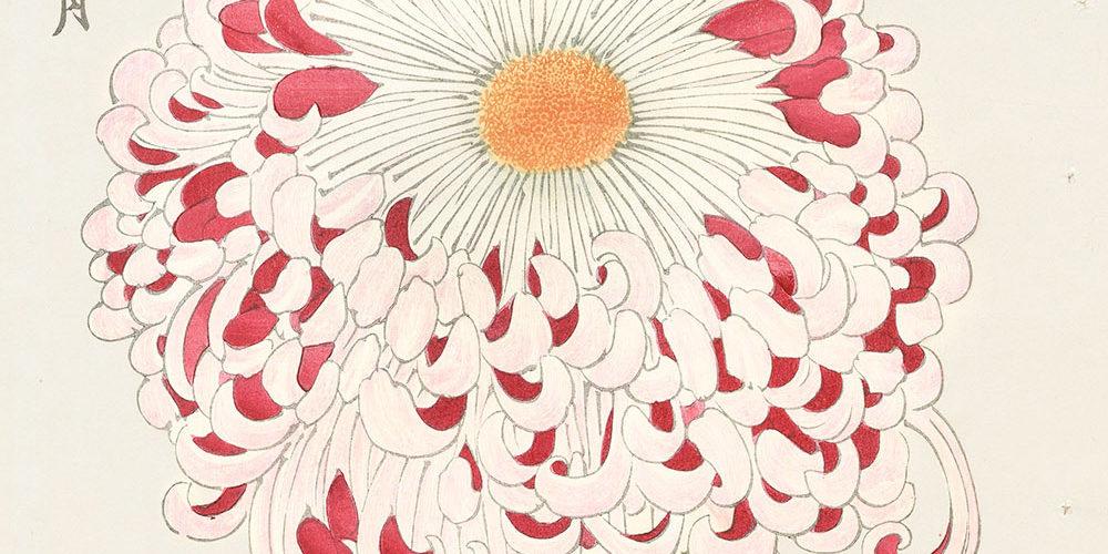 cien crisantemos