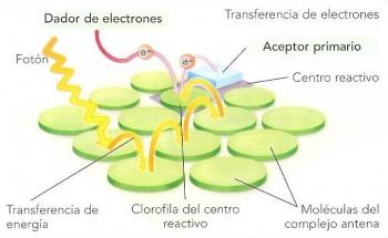 """Transferencia de electrones y el concepto de """"antena"""" fotosintética."""
