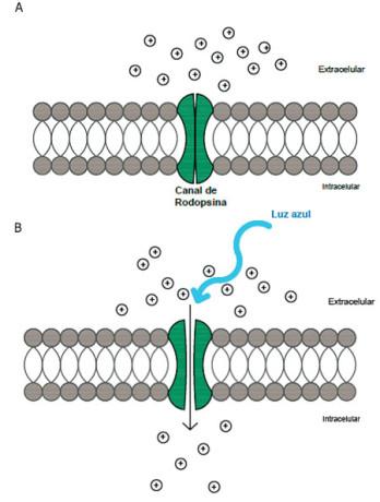 Fig. 1. El Canal de Rodopsina-2. A) el canal es sensible a la luz azul, en ausencia de luz el canal esta cerrado. B) Cuando el canal se ilumina, éste se abre dejando pasar iones positivos o cationes hacia el interior de la célula lo cual favorece la generación de impulsos nerviosos.