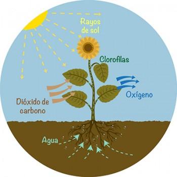 La fotosíntesis es un proceso que incluye la conversión de dióxido de carbono a glucosa.