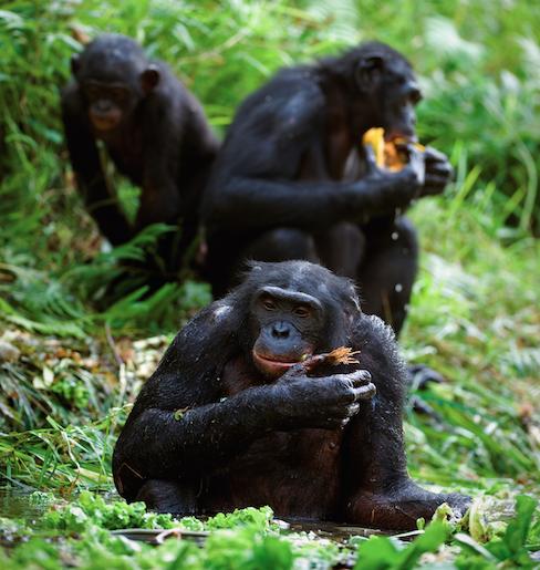 El bonobo es capaz de manifestar altruismo, compasión, empatía, amabilidad, paciencia y sensibilidad.