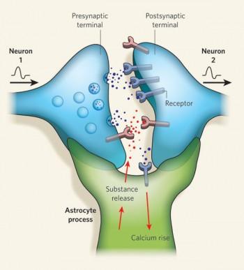 Sinapsis tripartita | Fuente: Allen & Barres Glia — more than just brain glue Nature 457, 675-677(5 February 2009)