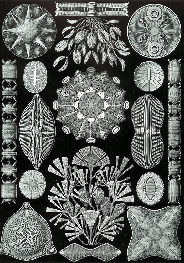 diatomeas2