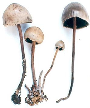 """Fig. 2 Panaeolus sphinctrinus, hongo tóxico que mal se identificó como el """"teonanácatl"""" de Sahagún."""