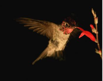 Figura 1. Colibrí (Calypte anna) tomando néctar con granos de polen flotando sobre su cabeza. Créditos Víctor Ortega.