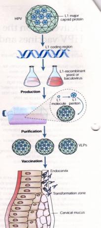 Figura 2. Representación esquemática de la producción y vacunación con partículas similares a virus (VLP) del virus del papiloma humano (VPH). La proteína de la cápside L1 puede plegarse y autoensamblarse en VLP cuando se expresa en células eucariotas. Las VLP ayudan a la protección contra el desarrollo del cáncer cervico-uterino, que puede darse mediante la producción de concentraciones altas de anticuerpos neutralizantes contra genotipos del VPH. La vacuna previene contra la infección del virus en la zona de transformación en los epitelios del cérvix. Imagen de Schiller T 2004.