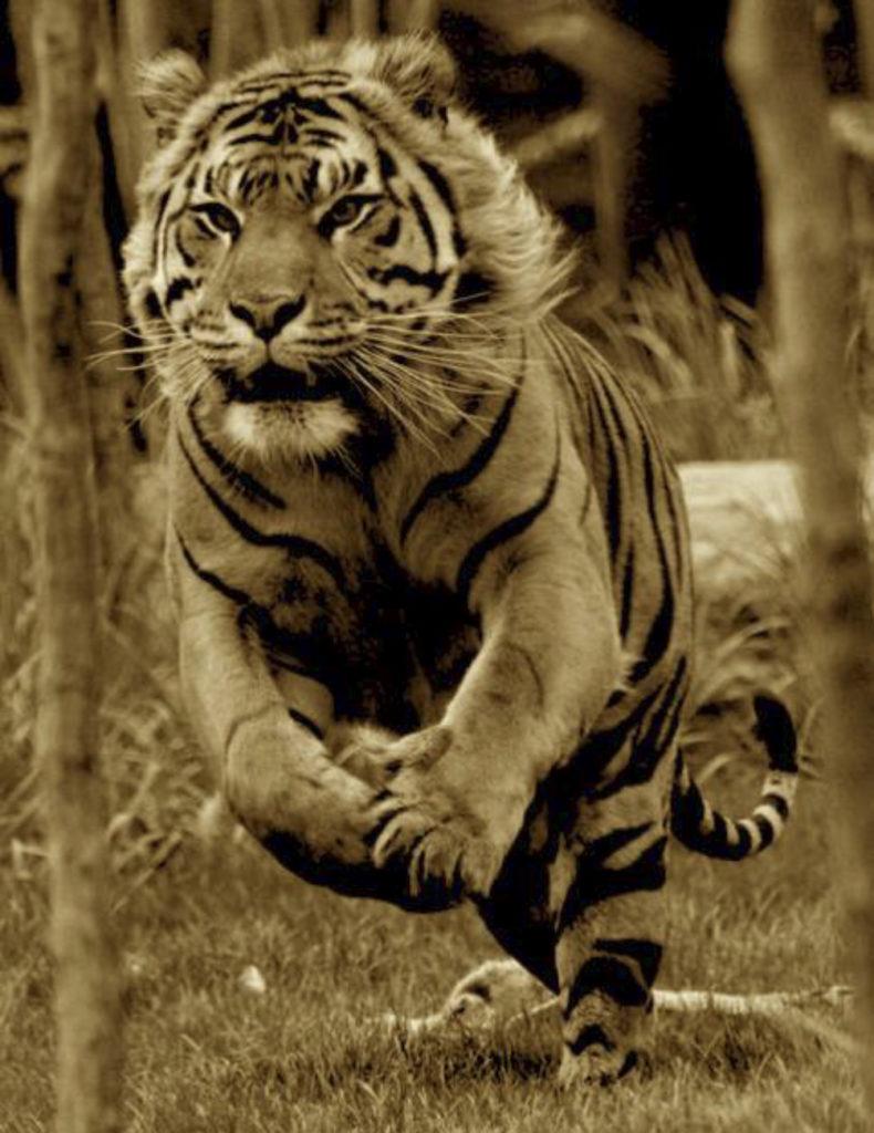 tigre lluvia