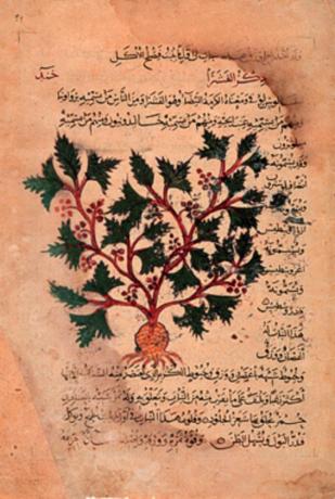 Fotografía 4.- Ilustración de una traducción árabe del Dioscórides que data de c. 1200. Fuente: Wikimedia Commons (http://upload.wikimedia.org/wikipedia/commons/d/d5/Dioscorides00.jpg?uselang=es