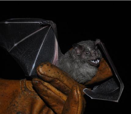 Foto 1. El murciélago frutero (Artibeus jamicensis) es muy común en las selvas tropicales de América. Dispersa muchas semillas contribuyendo a la regeneración de la selva