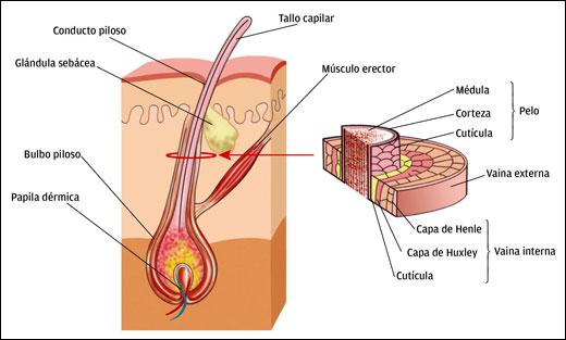 Figura 1. Estructura de un cabello