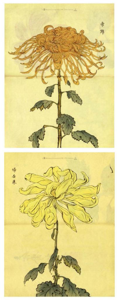 Imagen 3.- Dos de las escasas ilustraciones a doble página del Keika Hyakugiku. Fuente: Colección Digital Politécnica (http://cdp.upm.es/R/?object_id=456895&func=dbin-jump-full). Al igual que el resto de las imágenes recogidas en la obra de Hasegawa, estas están impresas en papel washi de color crema y aparecen acompañadas de los nombres japoneses de las variedades de crisantemos que representan.